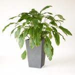 Spathiphyllum - Peace Lily