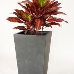 Crotons - Rhondas Red